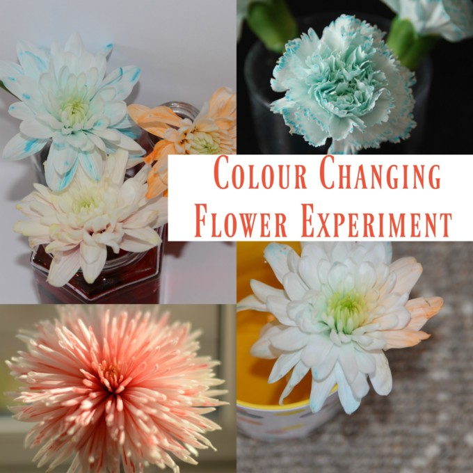 Colour Changing Flower Experiment