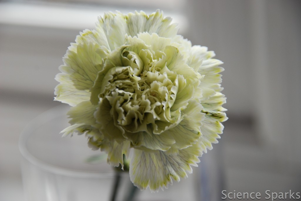 coloured carnation