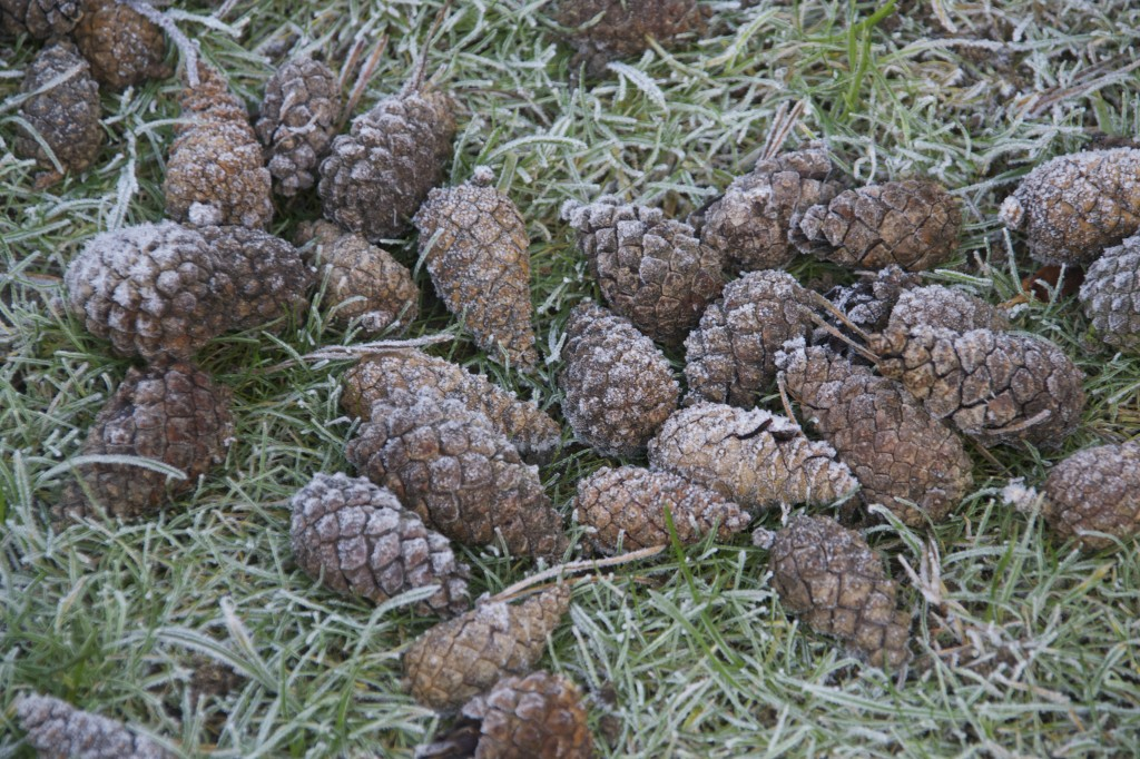 Frost on pinecones