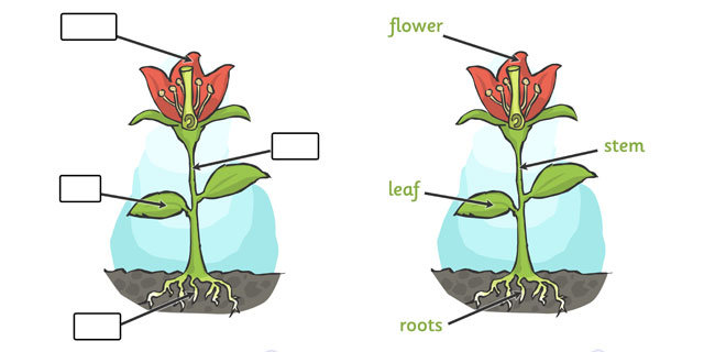 plant diagram for early years