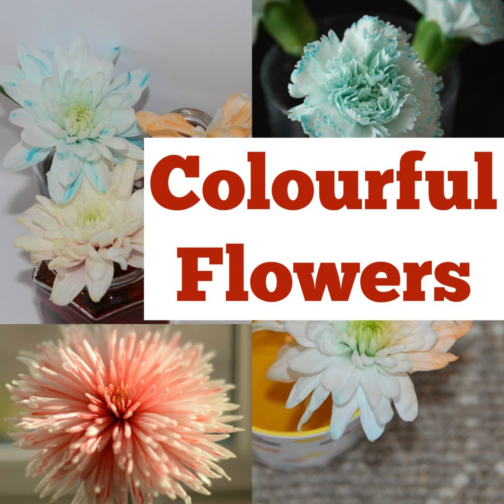 Colour Changing Flowers -   easy transpiration experiment for kids. Colourful plant science experiment for kids #plantscience #scienceforkids #transpiration Transpiration for kids