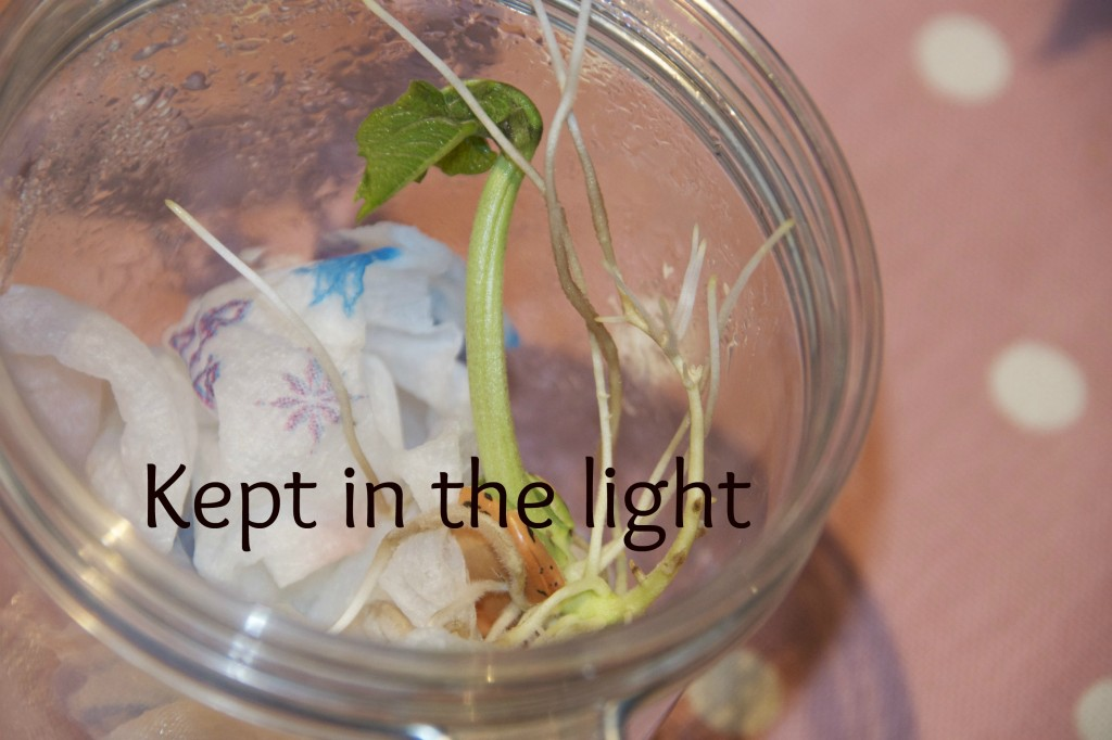 bean in a jar - bean plant kept in the light #scienceforkids