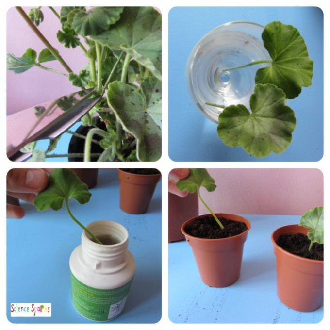 Plant babies - Tissue Cuttings