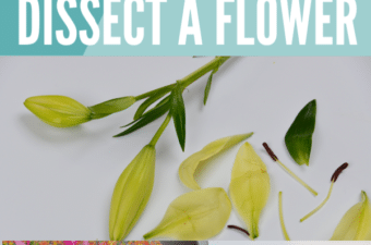 dissect a flower and more plant experiments
