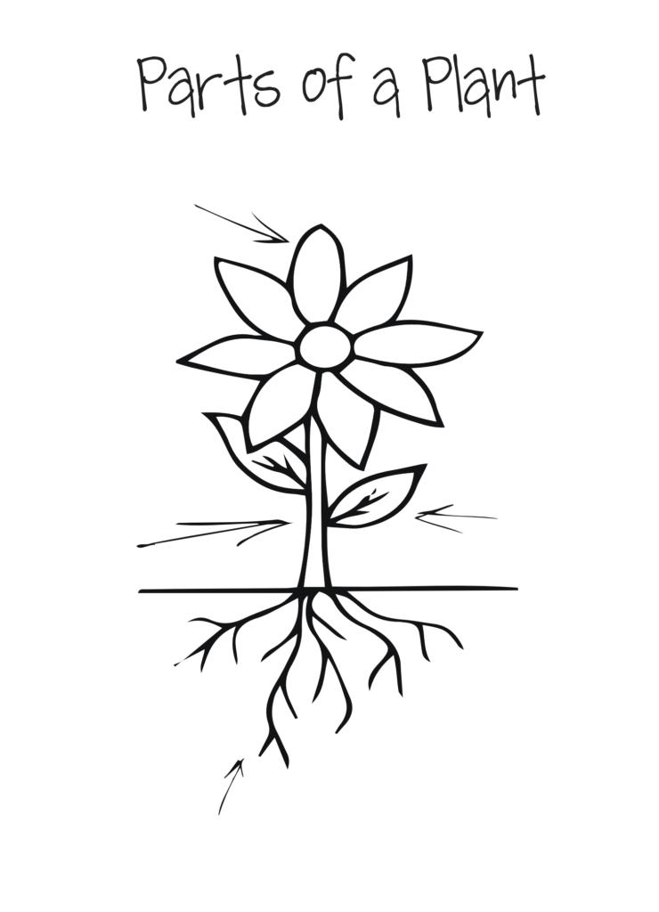 unlabelled plant diagram - Key stage 1