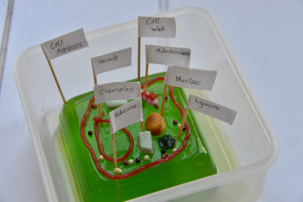 Jelly plant cell model