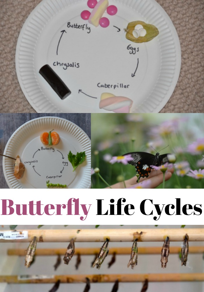 Easy edible butterfly life cycle activity. Create an edible model of the lifecycle of a butterfly. Includes a fruit butterfly life cycle and candy butterfly life cycle #scienceforkids #biologyforkids #butterflylifecycle