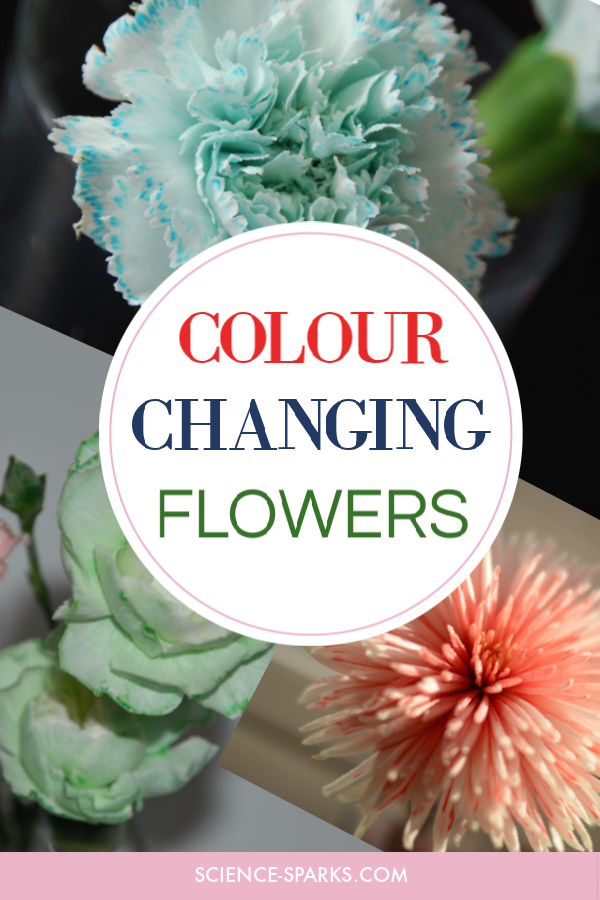 Colour Changing Flowers - easy transpiration experiment for kids. Colourful plant science experiment for kids #plantscience #scienceforkids #transpiration