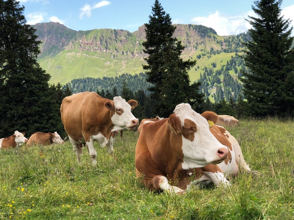 Cows and Methane - Climate change for kids