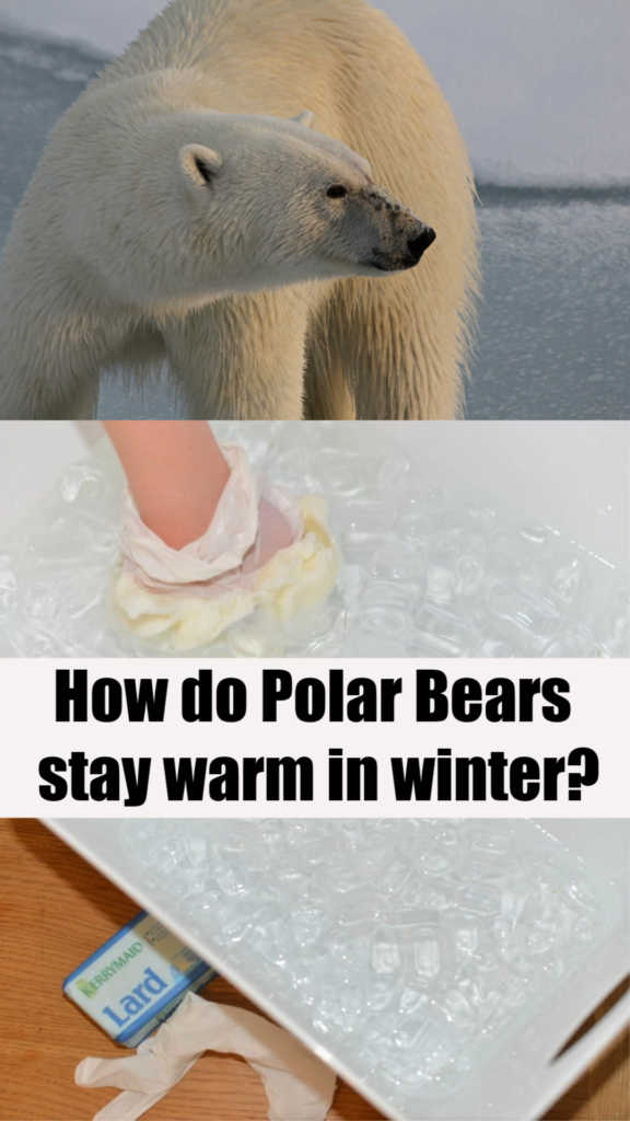 Blubber Experiment. How do polar bears stay warm? #animalscienceforkids #polarbears #winterscience #scienceexperimentsforkids #BlubberExperiment