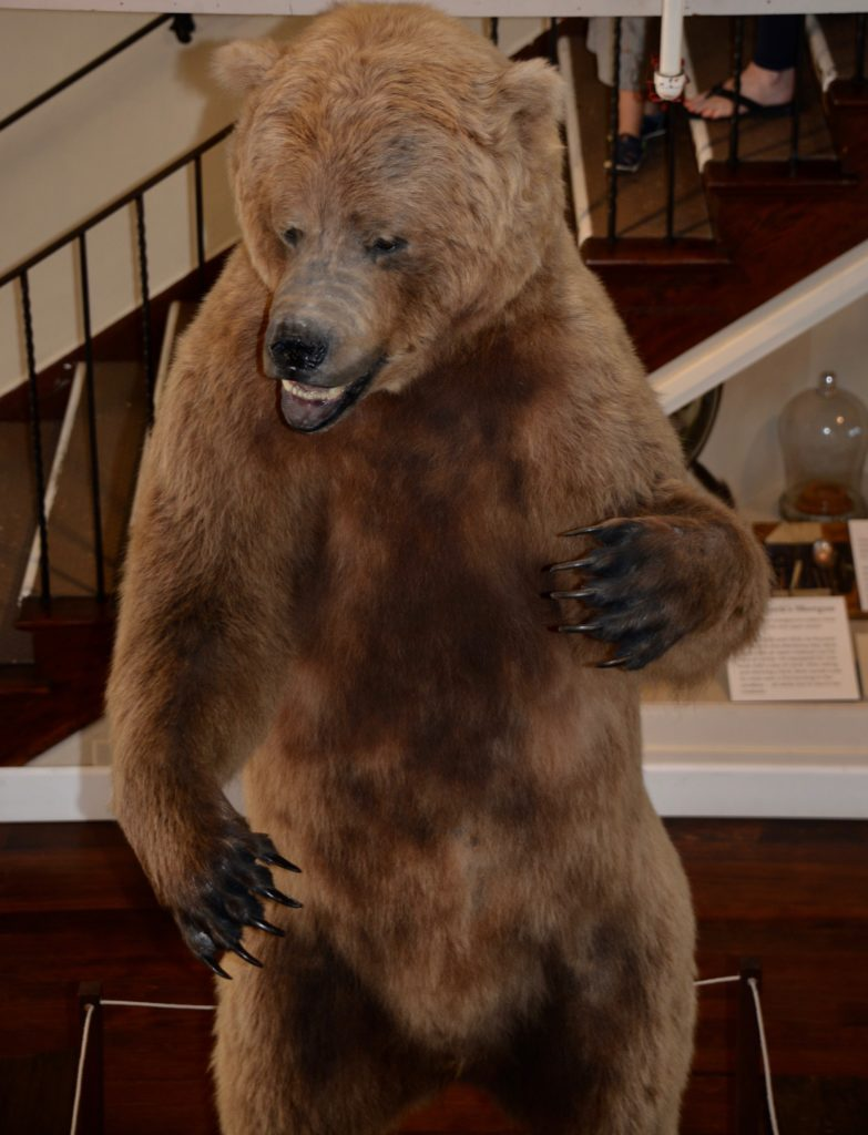 Preserved Bear - Pacfic Grove Natural History Muesum