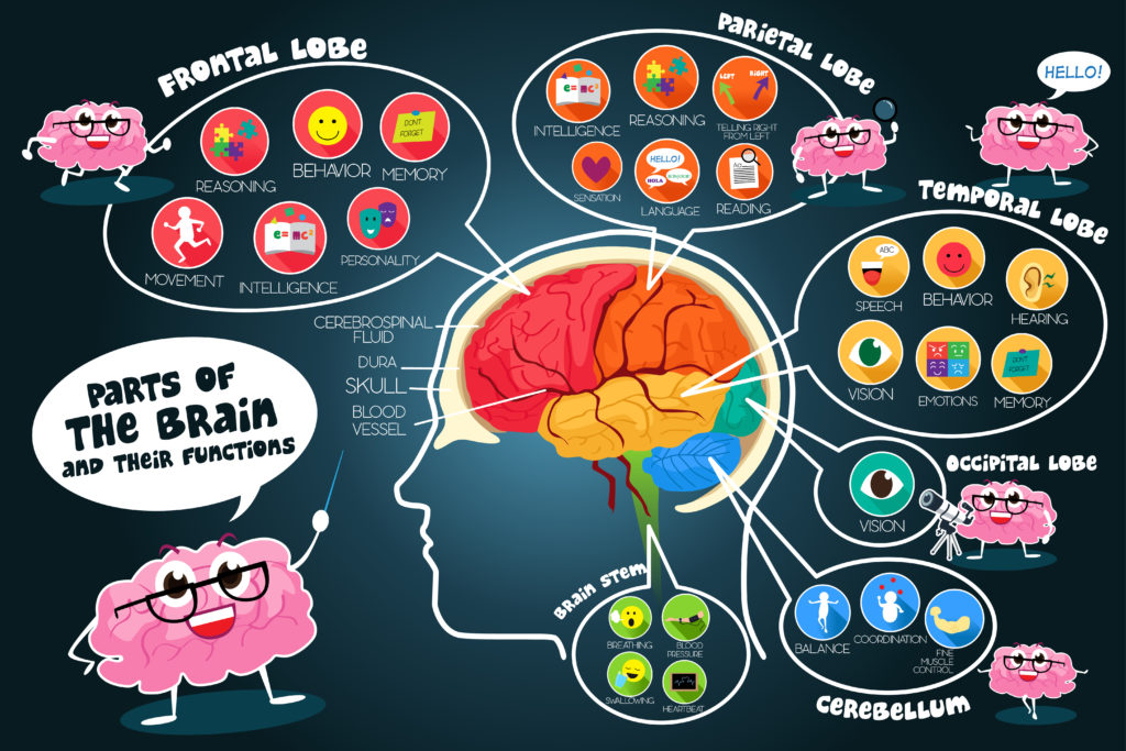 Cartoon diagram of brain structure and function #neuroscienceforkids