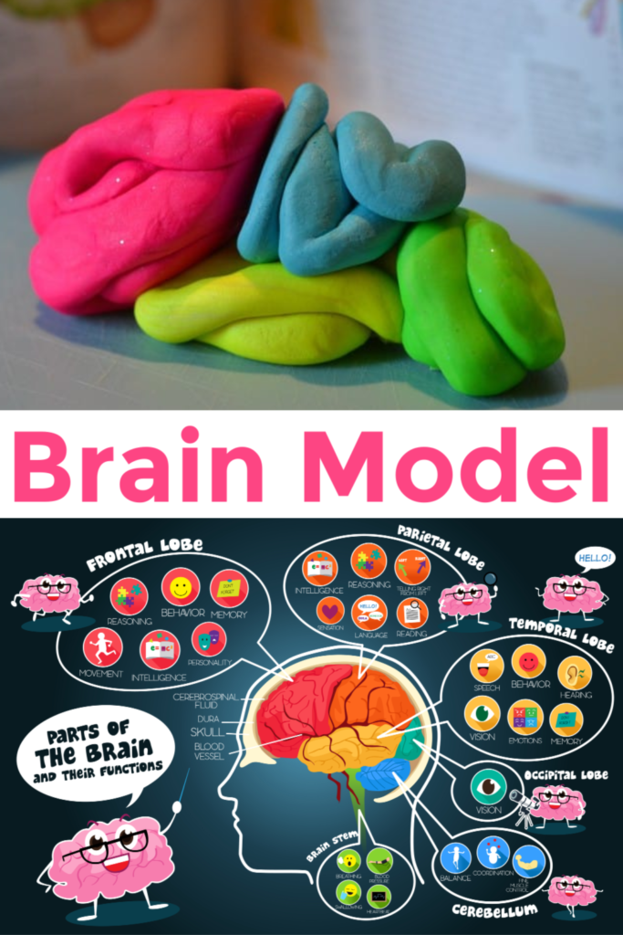 Easy labelled brain model for kids. Make a play dough brain model to show the different lobes #brainmodel #neuroscienceforkids #modelbrain
