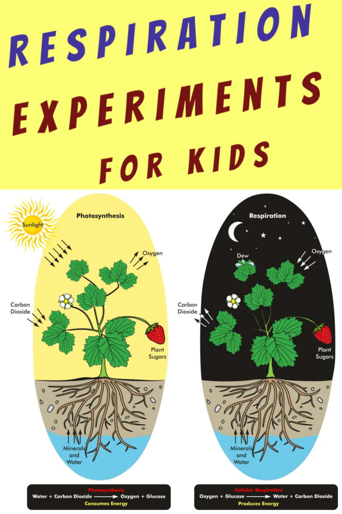 What is Respiration? Full explanation and selection of experiments showing respiration in action #respiration #biologyforkids #scienceforkids