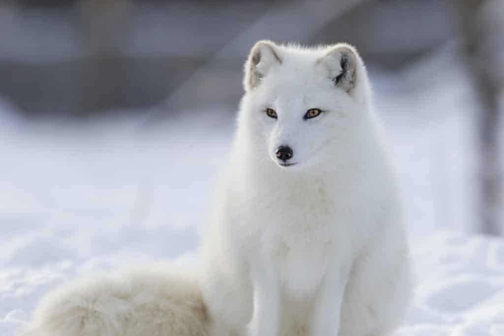 Arctic Fox Image - polar habitat