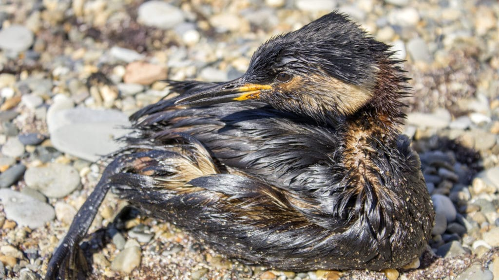 Bird covered in oil from an oil spill