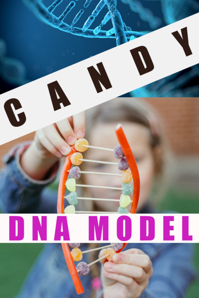 Easy Candy DNA model - learn about the double helix structure of DNA with this cool edible experiment #scienceforkids #DNA #RosalindFranklin #EdibleExperiments