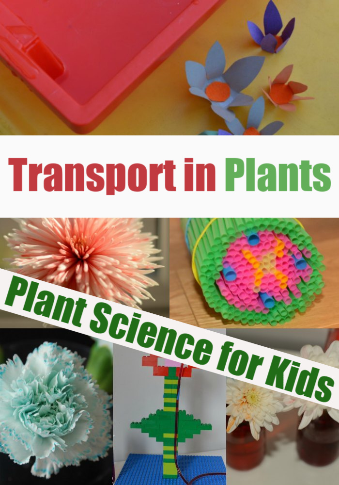 Experiments to demonstrate transport in plants - transpiration experiment, capillary action experiment and lots more plant science for kids #scienceforkids #plantscience #scienceforkids