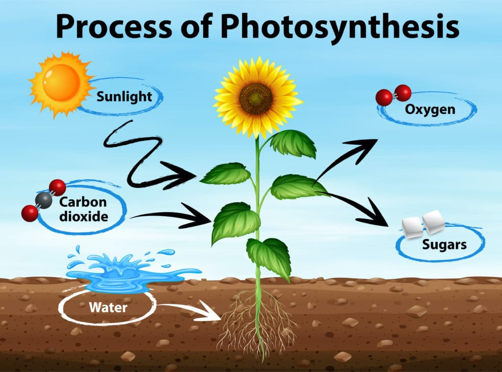 Photosynthesis Diagram showing products in and out