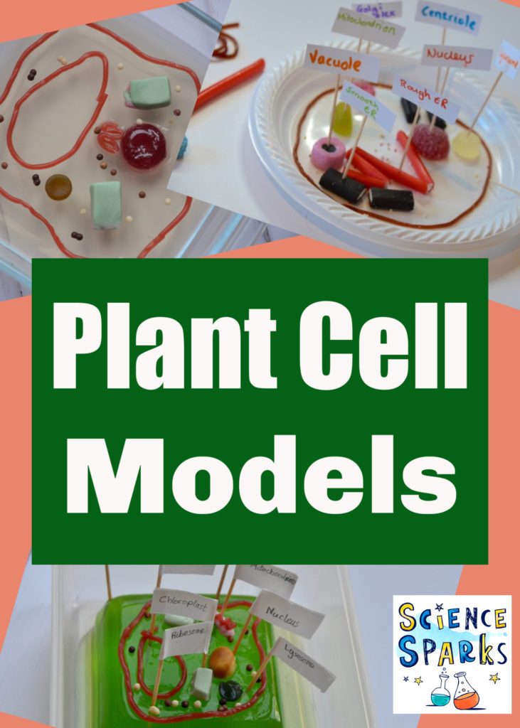 Easy and edible plant cell models - plant science for kids #plantcell #plantcellmodel #scienceforkids