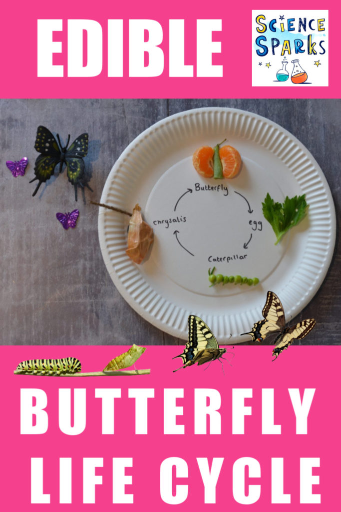 Easy edible butterfly life cycle activity. Create an edible model of the lifecycle of a butterfly using fruit/vegetables or sweets #scienceforkids #biologyforkids #butterflylifecycle