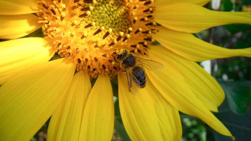 Bee feeding on a brightly coloured flower