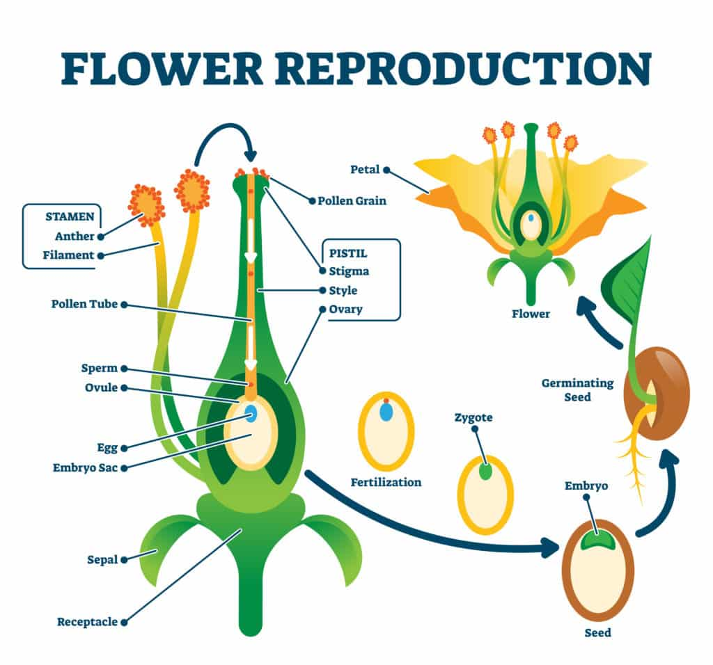 Educational diagram with stamen and pistil structure and full egg development and fertilization stages from ovule to seed