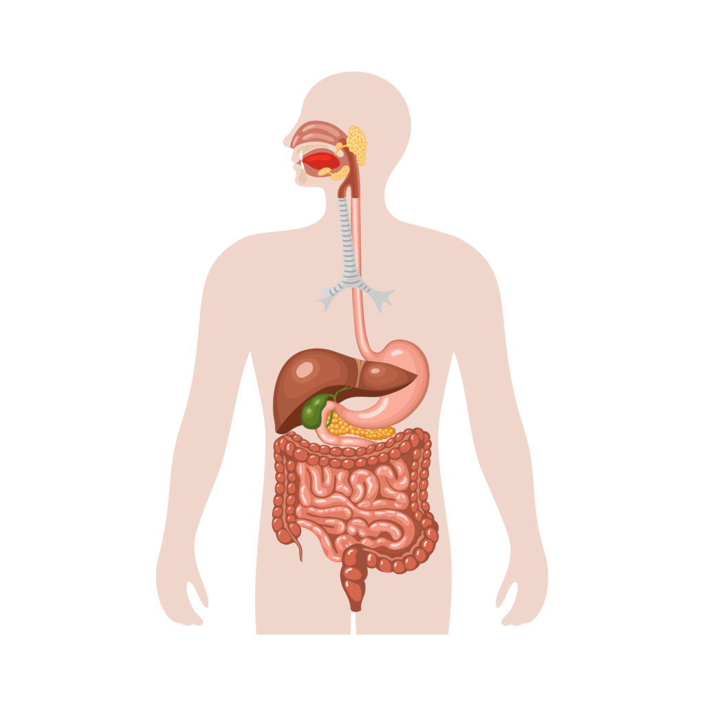 Human digestive system. Anatomical vector illustration in flat style isolated over white background.