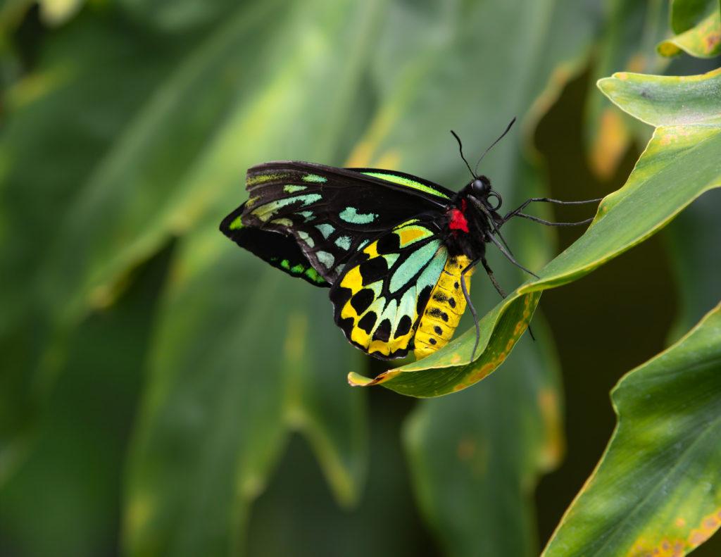 Male Queen Alexandra Birdwings Ornithoptera Alexandrae Butterfly