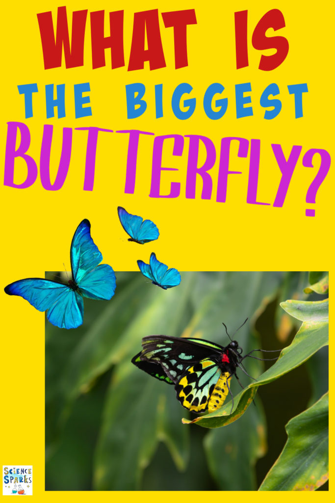 What is the biggest butterfly? Image of the biggest butterfly in the world