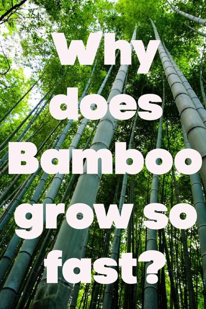 why does bamboo grow so fast, find out!