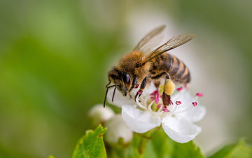 Image of a bee on a flower with visible stamens