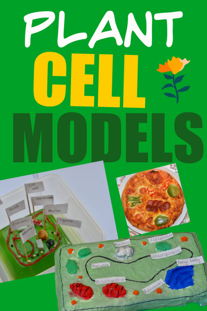 Collage of plant cell models made from pizza, jelly and modroc. Great activity for learning about plant cells.
