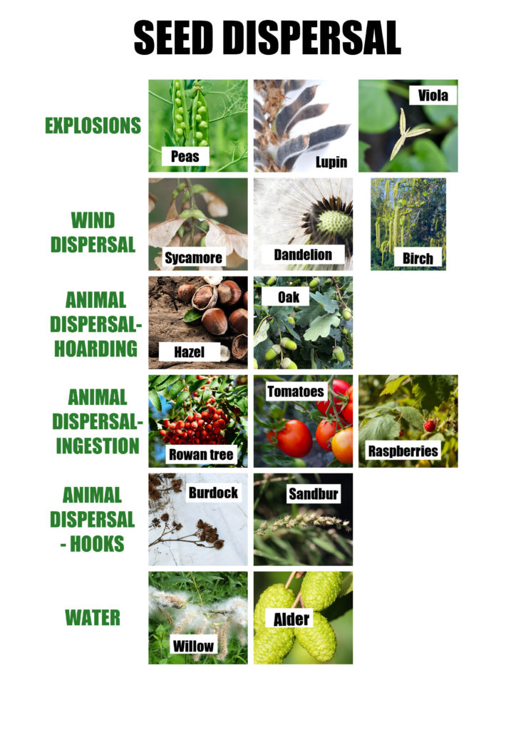 Image of seed dispersal mechanisms in plants and trees. Shows wind, animal and water seed dispersal
