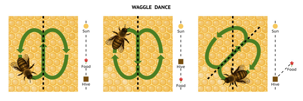 diagram showing the honey bee's waggle dance