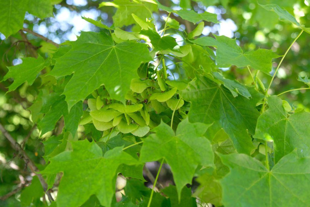 Norway maple seeds